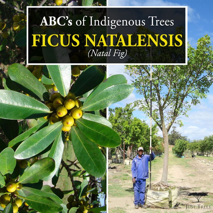 Meet the Ficus natalensis or the Natal Fig! This fast-growing evergreen is native to KwaZulu Natal and the large tree is suitable for parks and large gardens. Its root system is expansive, so it should not be planted too close to walls or roads as it can reach impressive heights. Its lush green foliage provides ample shade... We currently stock 200L, 400L and 1000L of this tree.