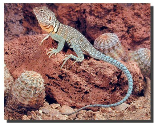 Have you ever think of something being hauntingly beautiful? If no then just take a look at this Collard Lizard Desert art print poster and experience for yourself how something beastly like a lizard can enhance the beauty of your place. Discover the uniqueness of this poster and Order today for its durable quality and excellent color accuracy.