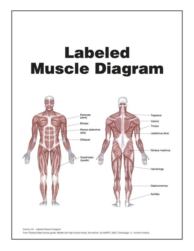 muscular system diagram unlabeled human anatomy drawing muscle rh pinterest com