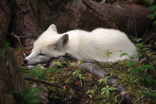 Arctic Fox- I think someone let Dallas out and took a picture of him laying in the forest when I was out!