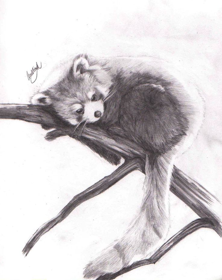 how to draw a realistic red panda