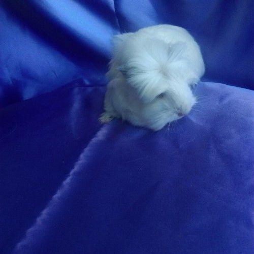 0102 - Guinea Pig Coronet Safkan