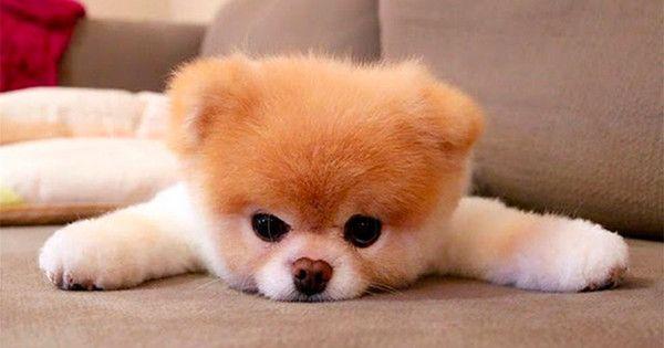 El Perrito Mas Lindo Del Mundo El Perro Más Lindo Del Mundo Perros Y Cachorros Lindos Imagenes De Animales Tiernos