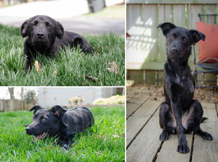 #Labrador Rescue TriPawding Through Life Fundraiser | #ItsaLabThing