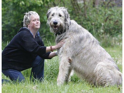 die besten 17 ideen zu irischer wolfshund auf pinterest irischer wolfshund welpen irische. Black Bedroom Furniture Sets. Home Design Ideas