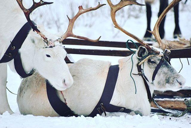 """Снег, ну где же ты?пока в Москве ничто не предвещает зимы, можно выиграть поездку к северным оленям! Настоящий уголок Севера находится в Анциферово. А в преддверии нового года 25-27 декабря, 2-9 января, на ферме """"северный олень"""" (severolen.ru) ожидаются рождественские представления✨✨✨. С оленями - участниками посещения по записибилет на два лица, а еще и горячий чай в юрте ждет того, кто правильно ответит на вопрос: зачем оленям делают маникюр?"""