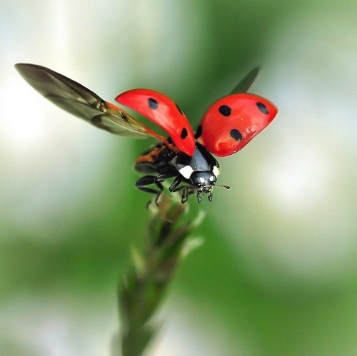 Ladybug: Eukarya, Opisthokonta, [Kingdom Animalia, Eumetazoa, Bilateria, Protostomia], Ecdysozoa, Arthropoda, Hexapoda, Insecta. Coelomate - Diecious - Segmentation - Exoskeleton - Head, Thorax, Abdomen - Open Circulatory System - Ventral Nerve - Jointed Appendages - Compound Eyes - Mandibles - Maxilla - 3 Pairs Walking Legs - Tracheal Respiratory System - Terrestrial & Freshwater