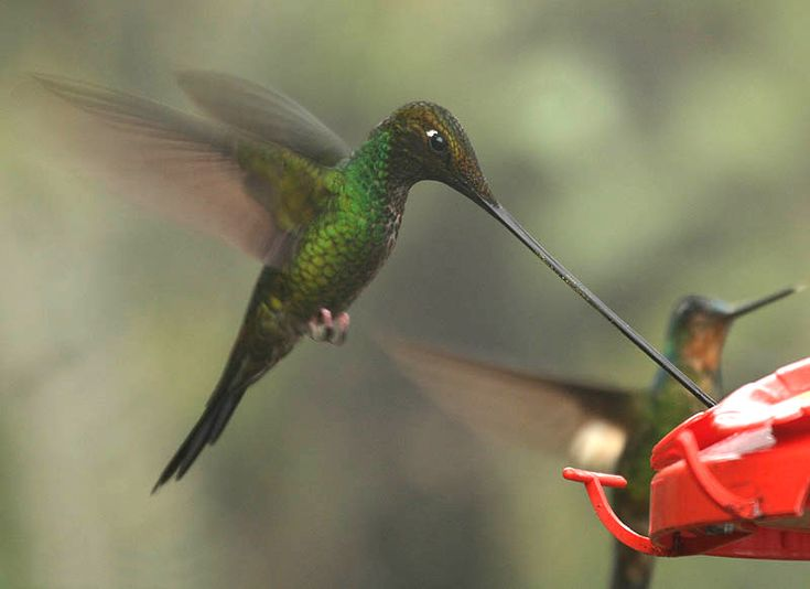 Swordbill hummingbird...wow wee!: Swordbil Hummingbirds, Colibri Hummingbirds, Hummingbirds Long Neck, Hummingbirds Heavens, Bill Hummingbirds, Hummingbirds Ensifera, Ensifera Ensifera, Hummingbirds Delight, Swords Bil Hummingbirds