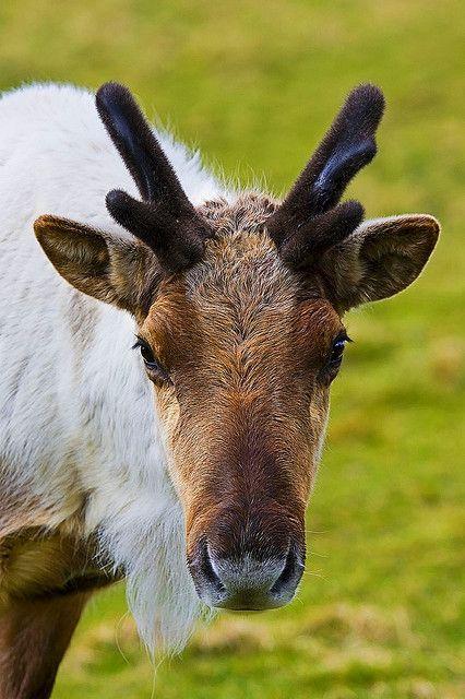 **Reindeer in Edinburgh Zoo in Scotland*** Boy! That would be GREAT! to Visit!