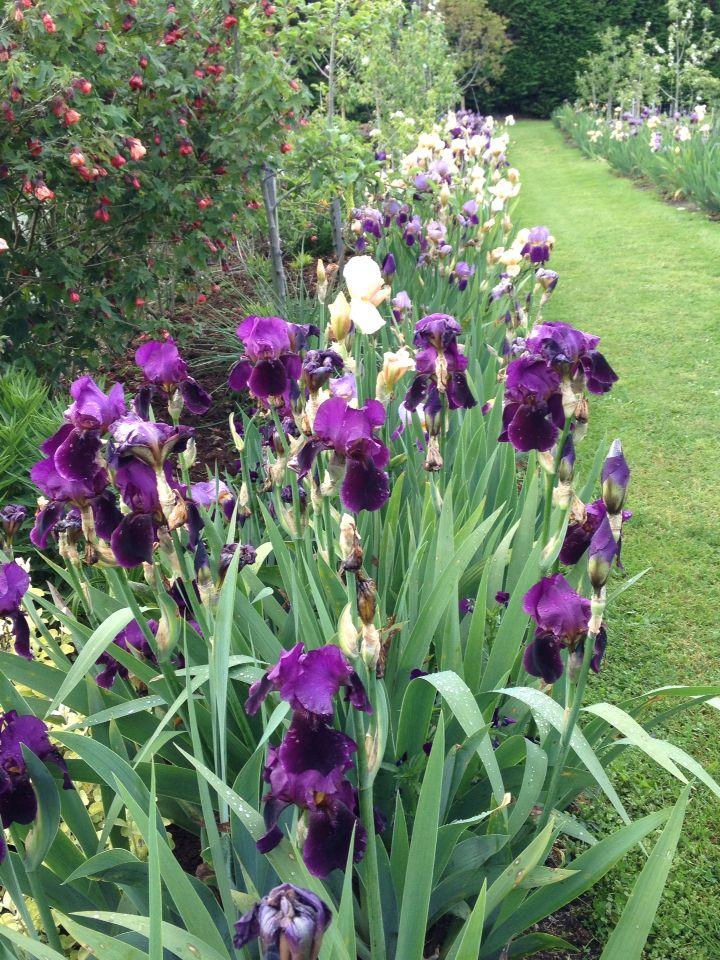 Bearded iris row