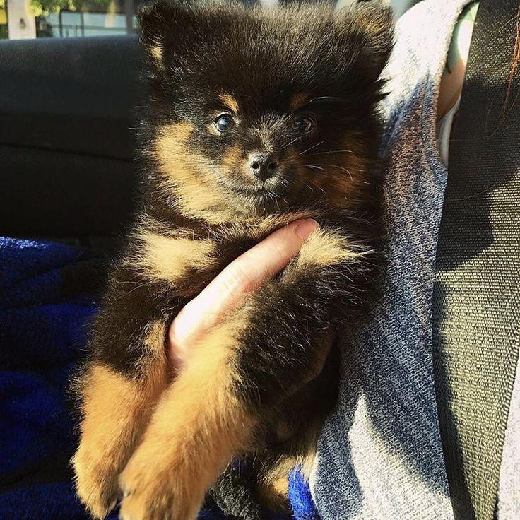Pomeranian puppy for sale in NEWPORT NEWS, VA. ADN-49226 on PuppyFinder.com Gender: Male. Age: 13 Weeks Old