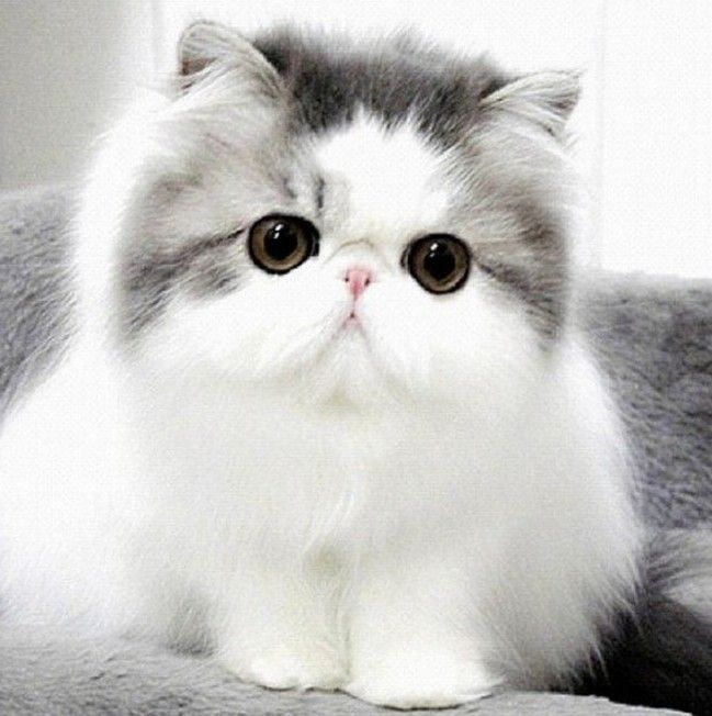 ... Kittens on Pinterest | Persian cats, Fluffy kittens and Kitty com Fluffy Teacup Kittens