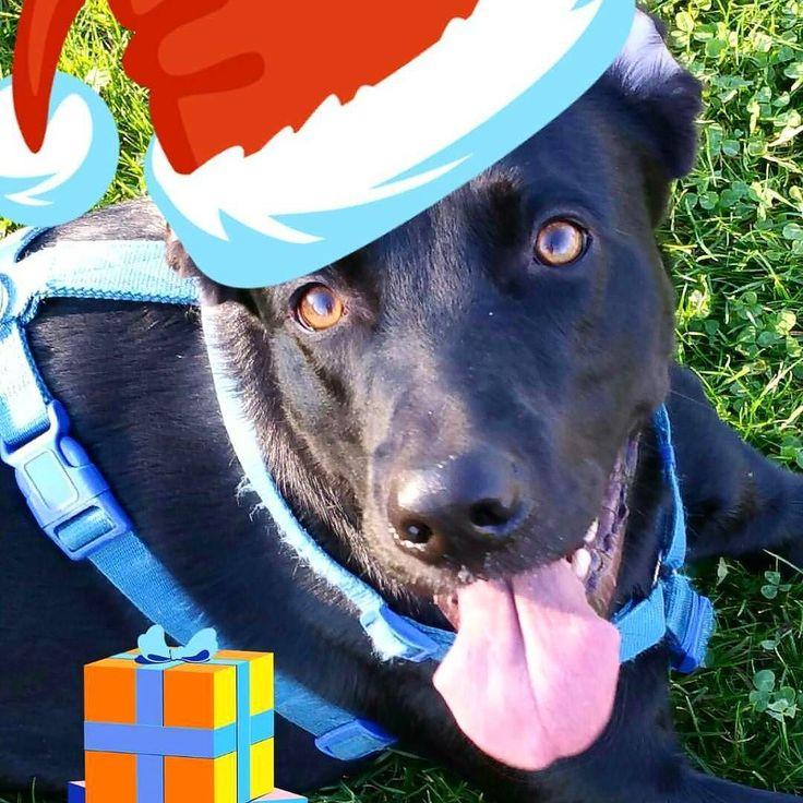 Dal momento che ho delle difficoltà a mettere il berretto a Snoopy ho dovuto ricorrere a subdoli trucchi e sticker  Buone Feste a tutti! Da Snoopy e Roberto  Foto di: @rcfoto #BauSocial  #Milano #Blackdog #dog #cane #natale #natale2016 #christmas #instadog #dogstagram #love #amazing #labrador #bracco #retriever #blacklab #lablove #dogstagram #dogoftheday