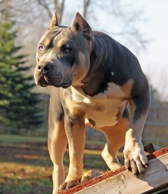 XXL BULLY FEMALE PITBULLS GIANT XTREME BLUE PITS