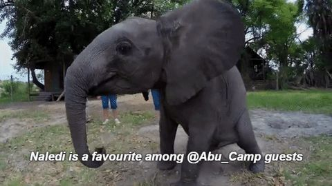 Little Naledi is a favourite among guests at Abu Camp #elephant_encounter