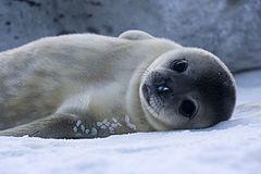 Um bebê da espécie Leptonychotes weddelli na Terra Adélia, na Antártida.