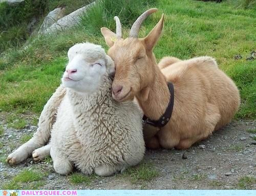 Farm Yard Friends: Snuggles, Goats, Animal Friendship, Sweet, Best Friends, Farms Animal, Sheep, Pet Photo, Smile