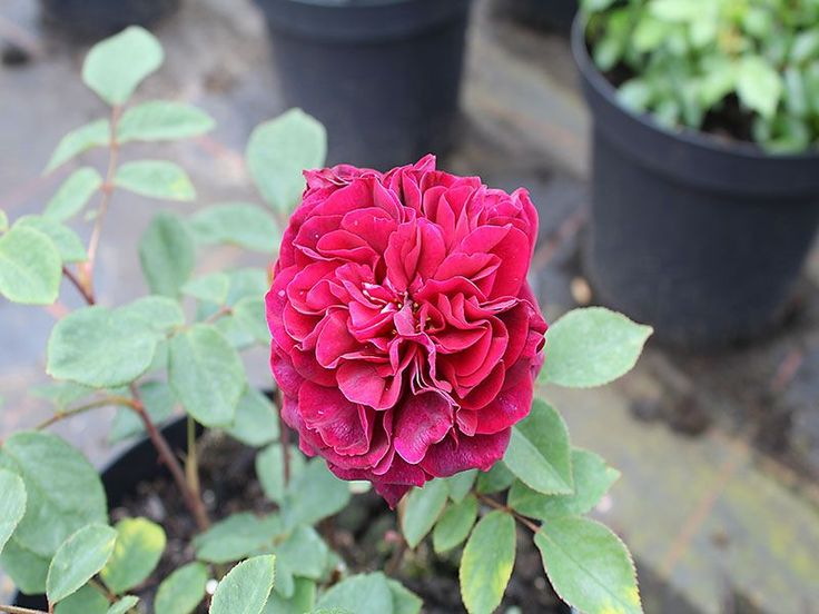 Englische Rose The Prince ® Ausvelvet ® Züchter David Austin 1990