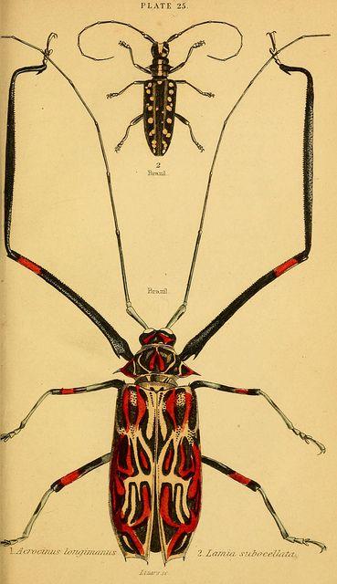 The natural history of beetles  Edinburgh :Henry G. Bohn,1852