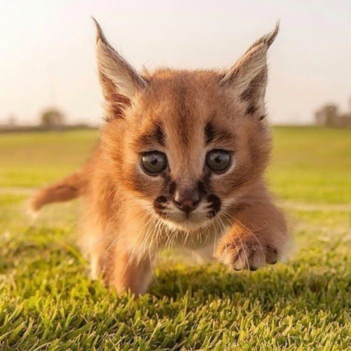 Caracals live in Africa, the Middle East and The Indian subcontinent. Adults can weigh as much as 18kgs (40lbs), they can run at speeds of up to 50mph.
