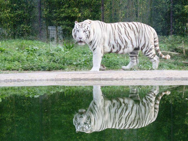 """O tigre branco """"Ankur""""."""