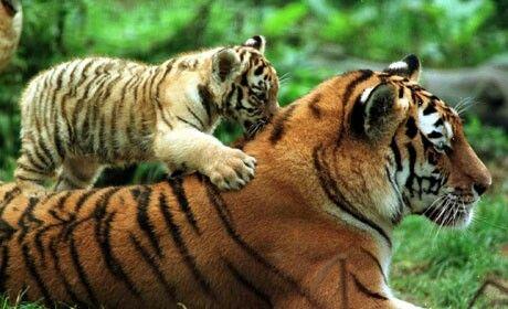 El tigre de Bengala esta cada vez más amenazado por los cazadores por lo que expertos reunidos en Bangladesh creen que el uso de nuevastecnologías, comocámarasocultas orecolecciónde muestrasgenéticasde excrementos, será clave para salvar a los animales en peligro deextinción.   El rastreo de huellas no es fiable ya que en la temporada de lluvias monzonicas pueden desaparecer.
