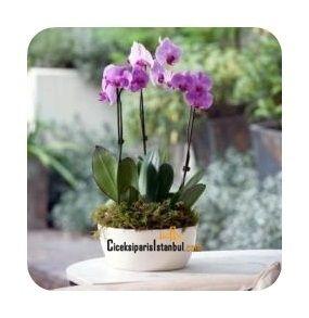 Seramik kaide içinde üçlü pembe orkide çiçekleri.