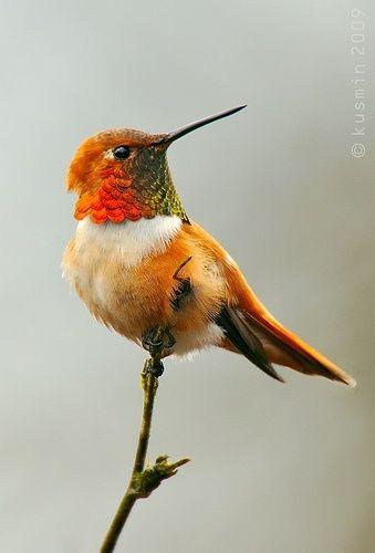 El colibrí rufo (Selasphorus rufus) La ubicación extremadamente diversificada del colibrí rufo resulta muy interesante. En primer lugar, poseen una de las rutas más largas de migración entre las aves. Algunos de ellos recorren más de 2.000 kilómetros (y eso es sólo en un sentido). Tienen que estar muy fuertes y bien alimentados con el fin de ser capaces de recorrer este tipo de distancia anualmente.
