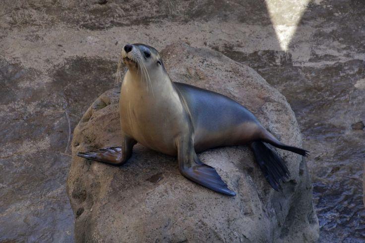This seal looked kinda confused. Taronga Zoo, Sydney.