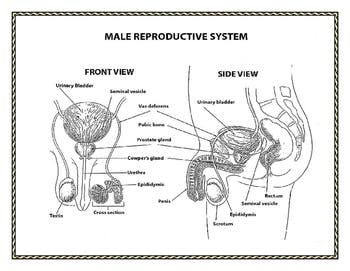 human growth and development: male and female reproductive