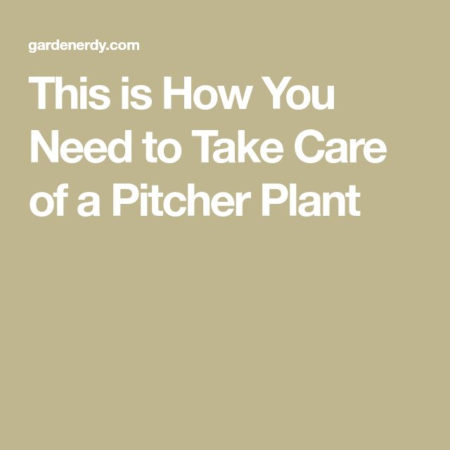 This is How You Need to Take Care of a Pitcher Plant