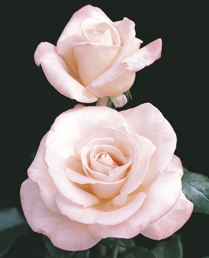 """New Zealand Hybrid Tea Rose GREAT SMELLING Disease Resistance: just """"Good"""" Flower Color: Soft creamy pink Fragrance: Strong honeysuckle Flower Form: Fully double Flower Size: Large Petal Count: 30 to 35 Plant Habit: Medium Growth Habit: Upright Foliage Color: ? Hybridizer: McGredy—1995 Parentage: Harmonie x Auckland Metro Cultivar: MACgenev Patent #: None?"""