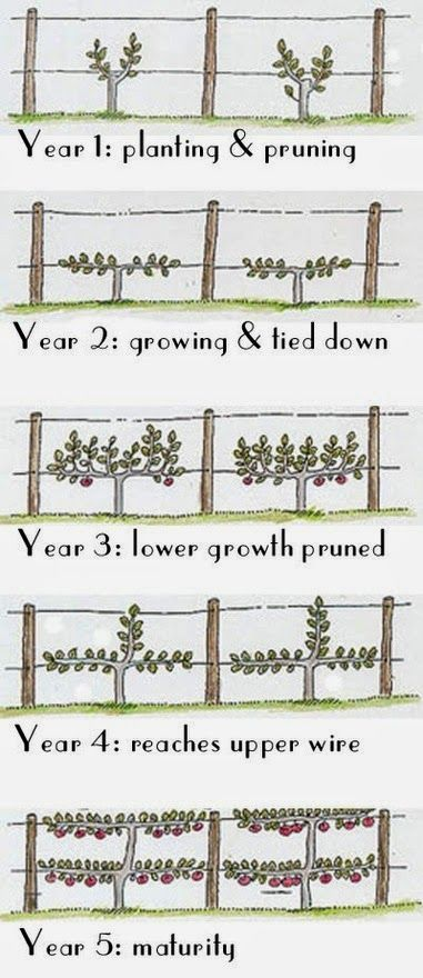 Five years to a low double cordon fence using espalier ...
