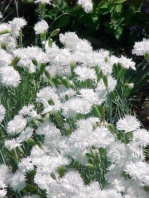 1419 best the white garden images on pinterest white gardens dianthus itsaul white flowers for zone 9 garden mightylinksfo Image collections