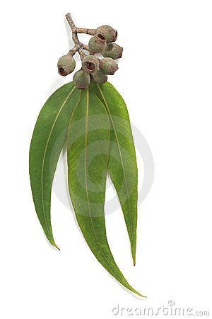Gum Leaves and Gum Nuts by Robyn Mackenzie, via Dreamstime
