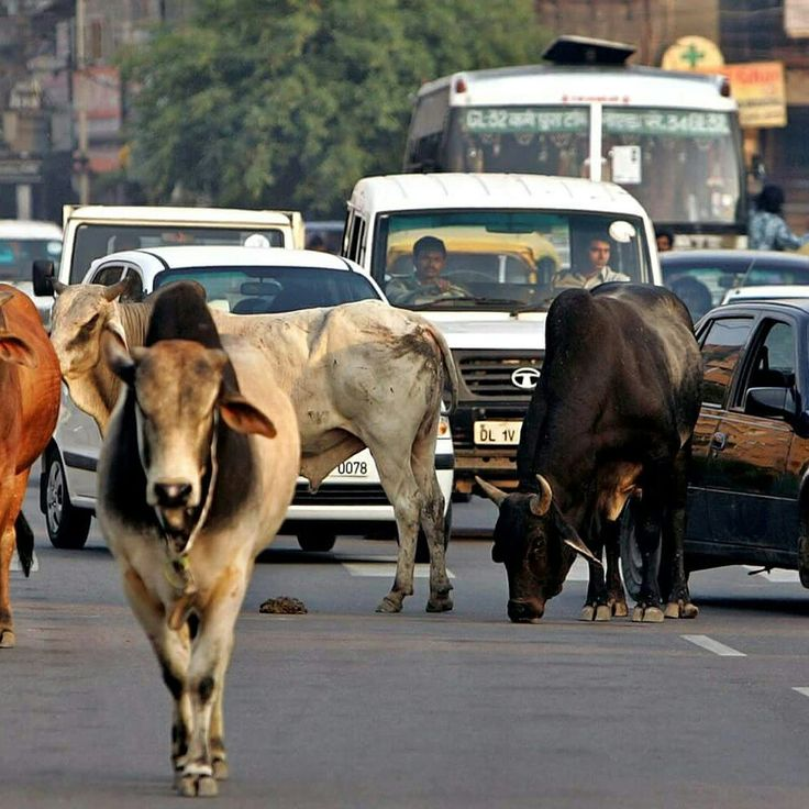 Tips to save you from culture shock when in India!  If you're coming to India for the first time, you're probably feeling a bit apprehensive, not knowing what to expect. This is what you will definitely witness: cows on the main road amidst the traffic.   #india #travel #lol #funny #laugh #vacation #tourism Travel + LeisureTravel Channel Travel + Leisure #tips #cultureshock