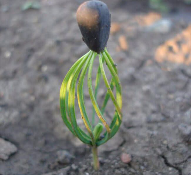 Экология жизни. Усадьба: Посадка и выращивание кедра. Как быстро стратифицировать кедры?