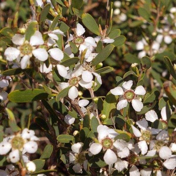 Leptospermum 'Lemon Frost'