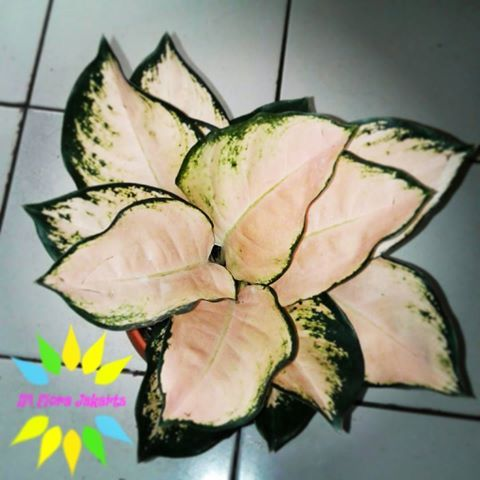Ready stock terbatas Tanaman aglaonema couchin NN Harga belum ongkir  Contact : 5caba4f5 / 083815433727 #aglaonema #aglonema #aglaonemaplants #daun #putih #hijau #new #fashion #baju #online #jualan #murah #tanaman #tanamanhias #kebun #bunga #florist #indonesia #sumatera #riau #jawa #jakarta #kalimantan #samarinda #lombok #sulawesi #interiordesign