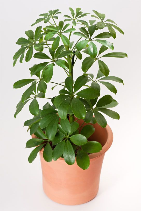 In this guide you'll learn how to care for Umbrella plants. With proper care, Umbrella Plants can easily become one of the tallest plants in your home.