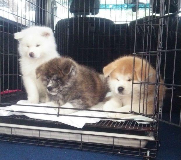 秋田県の秋田犬といえば、ピンと立った耳に巻き尾、「忠犬ハチ公」に代表される、主人への忠誠心で知られる天然記念物。 以前コロカルニュースでご紹介した、白い秋田犬の夏子ちゃんが、このたび11月10日に子どもを産みました。六つ子です!しかも、あか、しろ、とら(ごま)の3種類の毛色の子たち。…