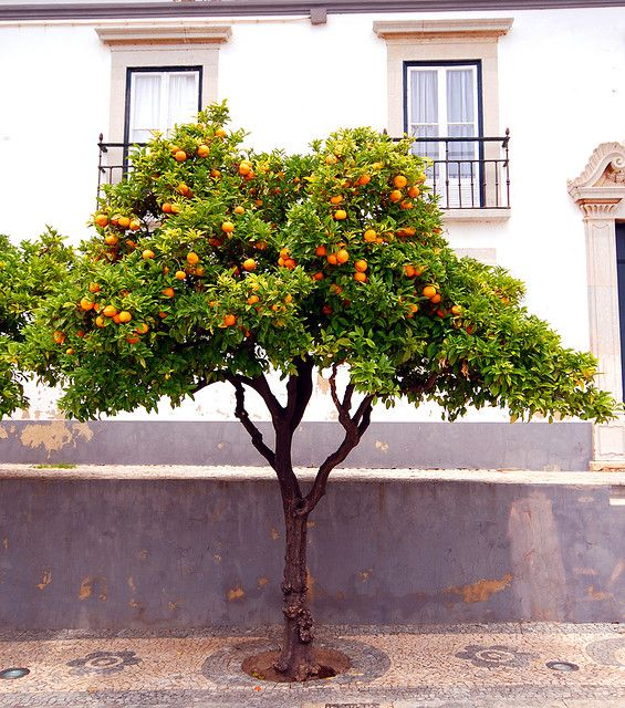 I want an orange tree when I create my garden, so I can make fresh orange juice, yum!