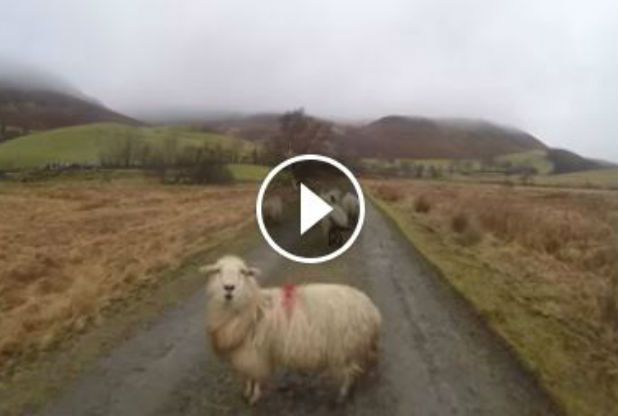 A fearless Welsh sheep staring down a drone.