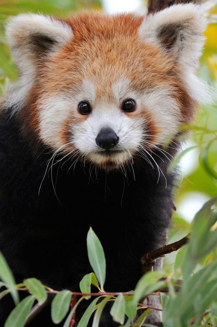 Red Panda Innocence by Josef Gelernter on 500px