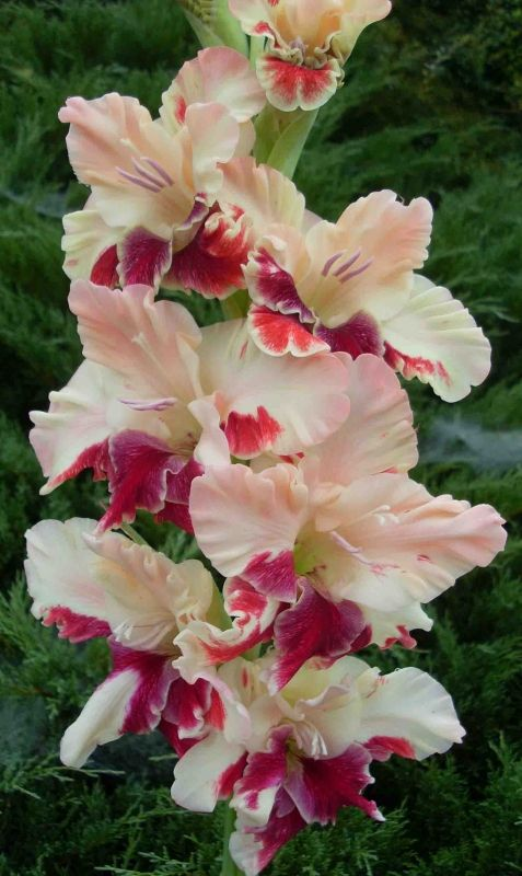 Gladiolus 'Exotic Bird'