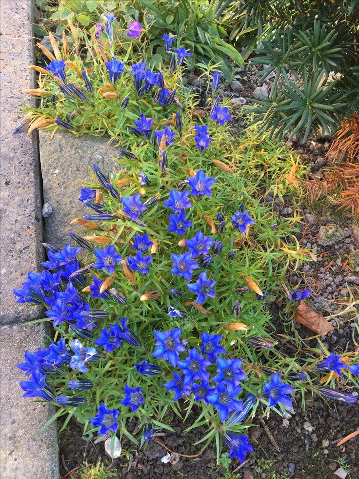 Jeg elsker kinasøte for deres intense blåfarge og fordi de blomstrerer når alt annet har gitt seg for sesongen