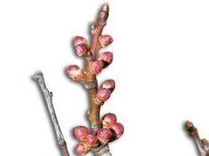 E/ Reconnaître les organes des arbres fruitiers