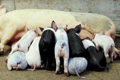 Cómo iniciar cría de cerdos   eHow en Español