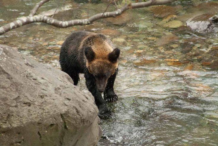 ツキノワグマ Asian black bear