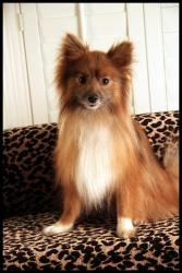Tuesday is an adoptable Pomeranian Dog in Dallas, TX.  ADOPTION FEE: $300 Approximate AGE: 2 years old Vaccination Date : February 2013 Health : Excellent Weight :13 lbs Temperament: Super sweet li...